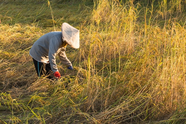 Agricultores cosechando arroz en un campo de arroz en tailandia