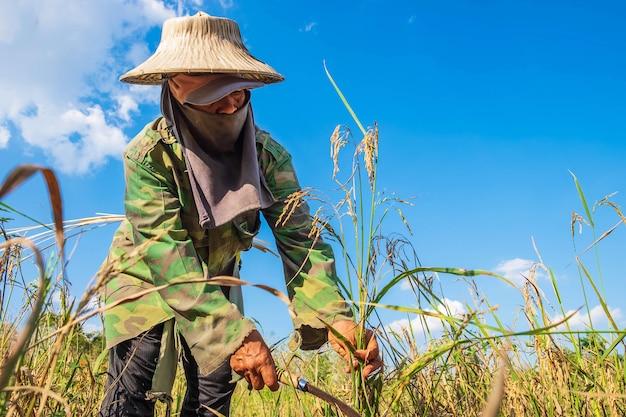 Los agricultores están cosechando arroz.