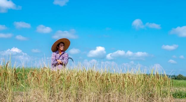 Los agricultores están cosechando cultivos en campos de arroz. día de cielo brillante