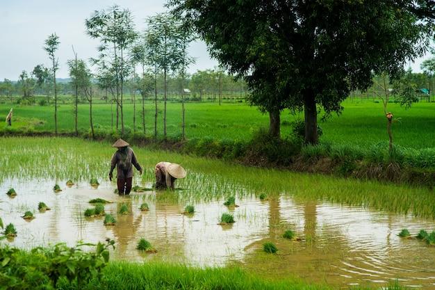 Los agricultores están plantando arroz en la granja indonesia