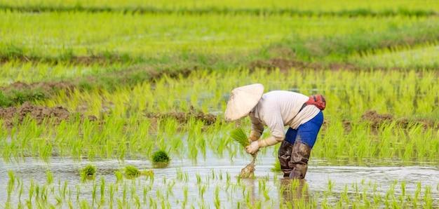 Los agricultores están plantando arroz en la granja.