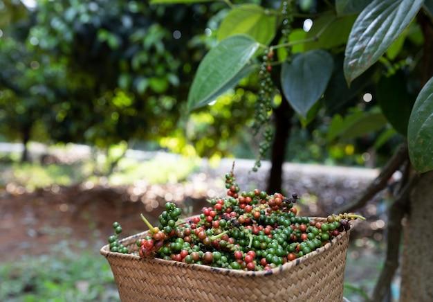 Los agricultores muestran una canasta llena de pimienta después de la cosecha con rama de pimentero