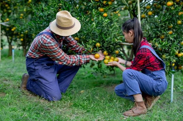 Los agricultores recogen naranjas juntos