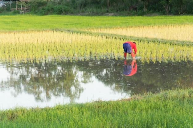 Agricultores trasplantan plántulas de arroz en el campo de arroz.
