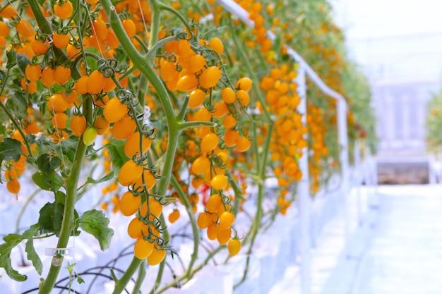 Agricultura de crecimiento de plantación de tomates rojos y amarillos maduros frescos en invernadero orgánico jardín listo para la cosecha.