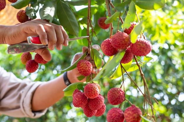 Agricultura de fruta de lichi en tailandia