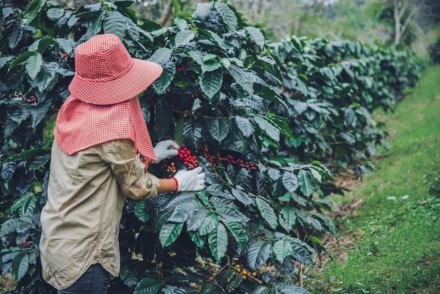 Agricultura, huerto cafeto con granos de café, las trabajadoras están cosechando granos de café rojos maduros.