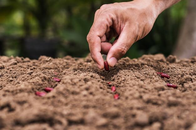 Agricultura mano plantando semillas frijoles rojos en el suelo