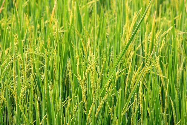 El agua cae sobre las hojas de arroz en el campo y pronto estará lista para la cosecha de semillas.