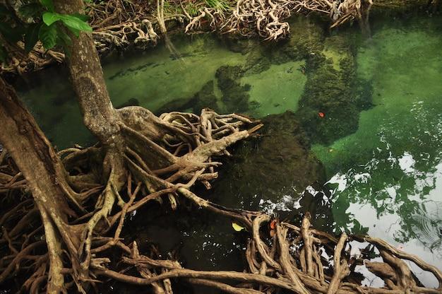 Agua transparente en estanque o río tropical, lago con raíces de árboles de mangle alrededor. krabi, tailandia.