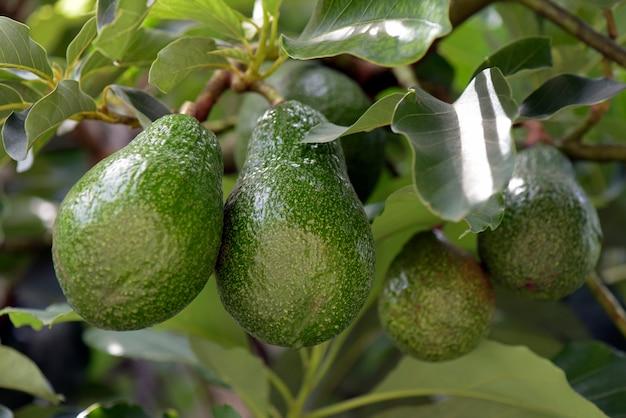 Aguacate en el árbol con hojas verdes