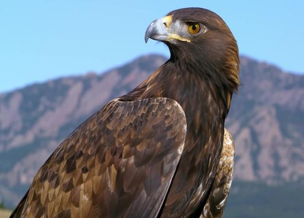 Águila adulta de cerca 2