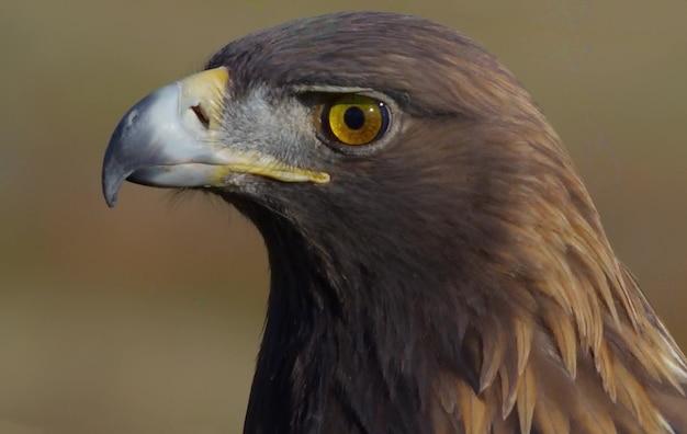 Águila adulta de cerca 4