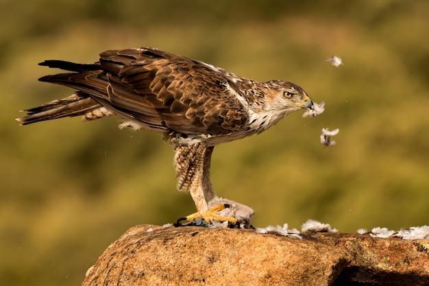 El águila de amazoni salvaje bonelli comiendo