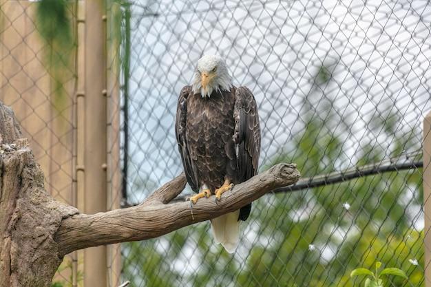 Águila calva con un pico amarillo sentado en la rama de un árbol rodeado por vallas de tela metálica en un zoológico