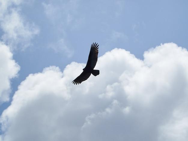 Águila en el cielo