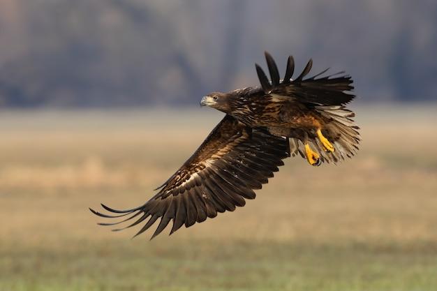 Águila de cola blanca joven aterrizando en el campo en otoño