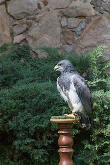 Águila encaramada en un banco de madera