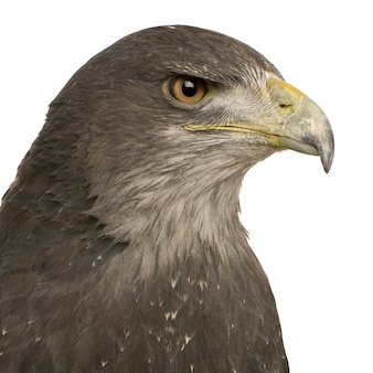 El águila-halcón de pecho negro- geranoaetus melanoleucus delante en un blanco aislado