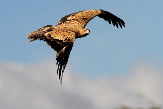 Águila imperial española de 2 años. aquila adalberti