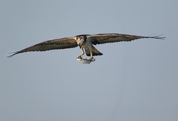 El águila pescadora ha atrapado un salmonete y se mantiene en las patas.