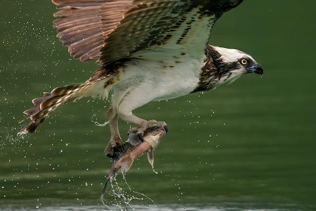 Águila pescadora o halcón de mar cazando un pez en el agua