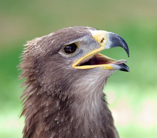 Águila real, cicatrizarse