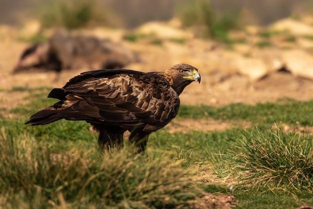Águila real dorada encaramada en el suelo junto a su presa
