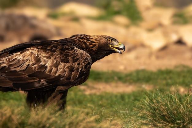 Águila real dorada encaramada en el suelo