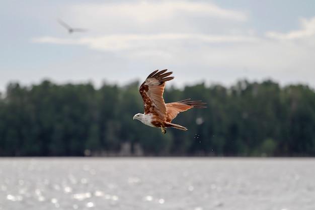 Águila roja vuela en el cielo en la naturaleza en tailandia