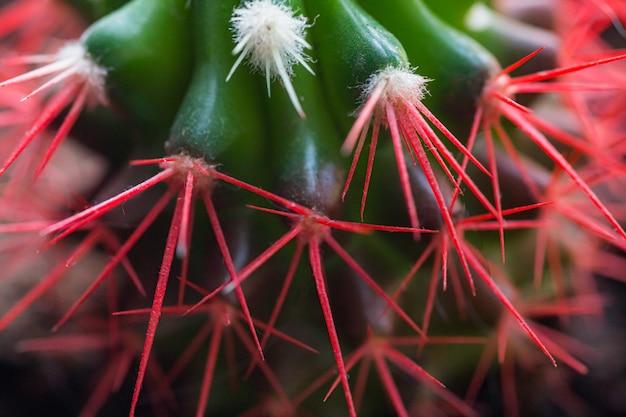 Agujas de coral rojo de un cactus. nuevas agujas blancas sobre un cactus.