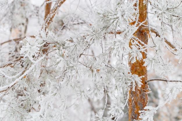 Agujas de pino cubiertas de nieve.