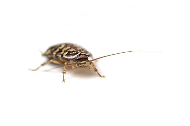 Aislante de la cucaracha en el fondo blanco