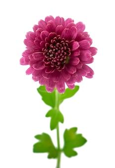Aislar las flores de crisantemo rosa