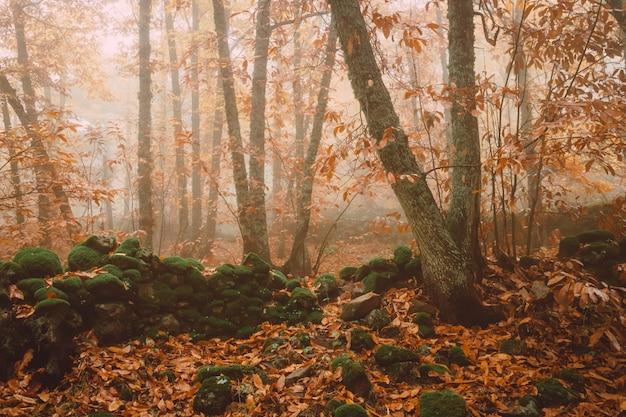 Ajardine con niebla en un bosque de la castaña cerca de montanchez. extremadura españa.