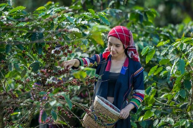 Akha hill recogiendo bayas de café arábica en la plantación, chiang rai, tailandia