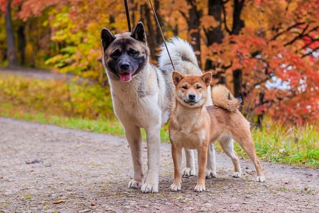 Akita y shiba a pasear por el parque. dos perros a pasear. otoño