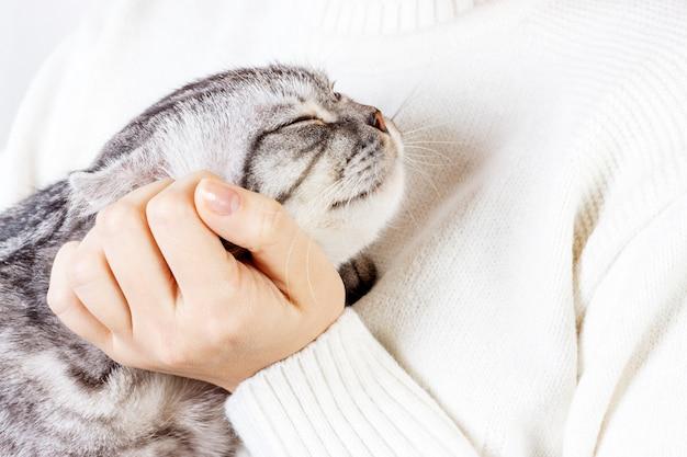 Al gatito feliz le gusta ser acariciado por la mano de la mujer. el británico de pelo corto. gatito escocés
