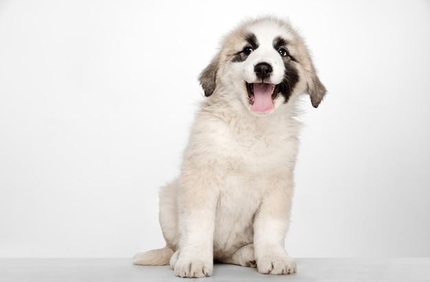 Alabai - cachorro de pastor de asia central de pie. retrato en una pared blanca. cachorro joven y bonito, las mascotas aman el concepto.