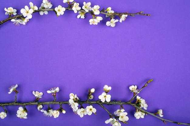 Los albaricoques florecientes de las ramitas ponen la disposición púrpura del fondo de la belleza de la primavera plana.