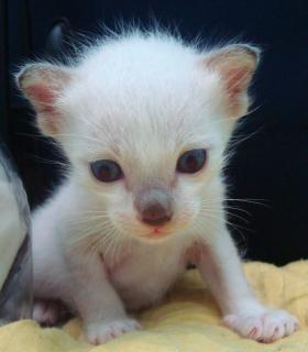 Albino gatito birmano