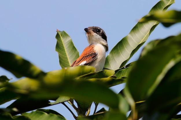 Alcaudón birmano lanius collurioides aves hermosas de tailandia