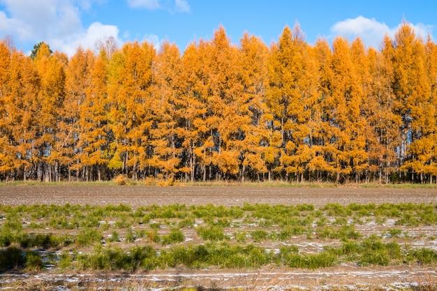 Alerce otoñal con hojas amarillas