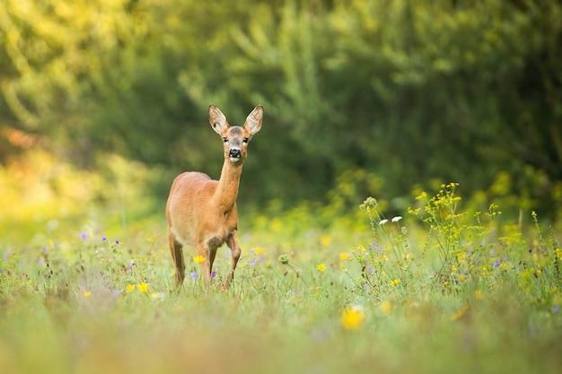Alerta corzo caminando en un prado verde con flores en la naturaleza de verano
