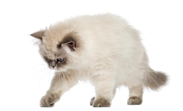 Alerta de gatito de pelo largo británico, mirando hacia abajo aislado en blanco