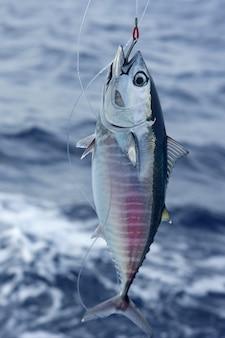 Aleta azul atún rojo y captura