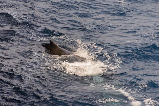 Aleta de ballena jorobada