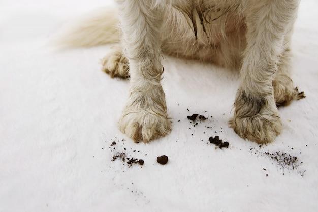Alfombra de alfombra de perro sucia y muda en casa.