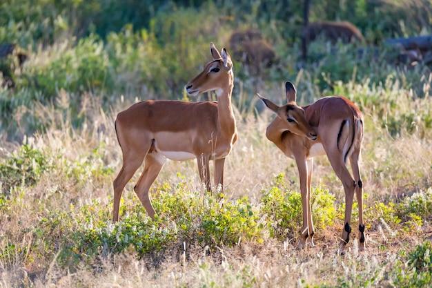 Algunos impalas se paran juntos en el paisaje de hierba