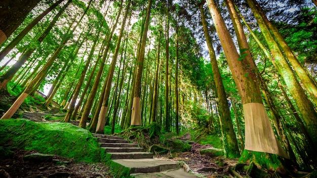 Ali shan, bosque de pinos, milenio, taiwán
